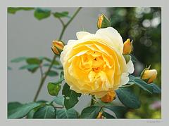 Sir George's Rose