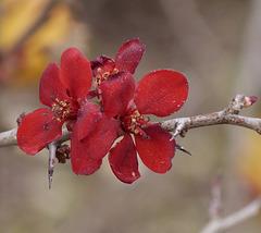 ...fleur d'un arbre fruitier Japonais...