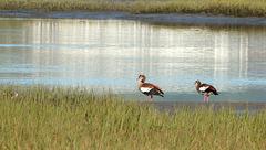 Egyptian geese, Knysna lagoon