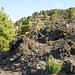 Von Los Llanos nach Süden. Den Kanarischen Kiefern gefällt die Lava als Untergrund. ©UdoSm