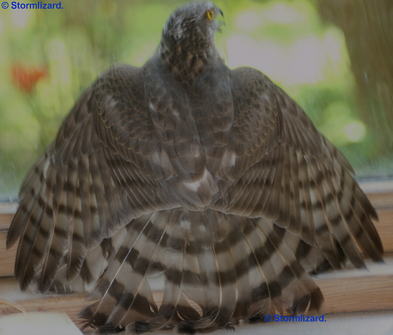 Female Guest A Beautiful bird Sparrowhawk Female (Accipiter nisus) M08-01a