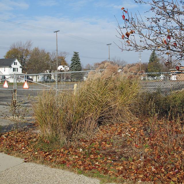 Ornamental grasses in a sunny wind in mid-November.