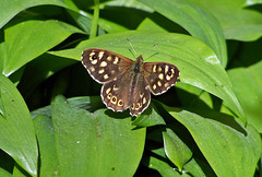Speckled wood ~ Pararge aegeria