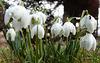 Jetzt im März ist der richtige Monat für die Märzenbecher