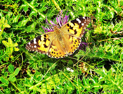 Painted Lady ~ Vanessa cardui