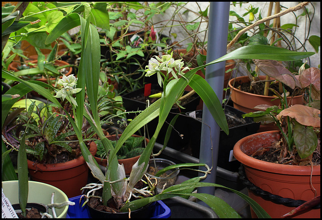 Prosthechea-Encyclia fragrans
