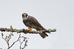 IMGL0618 Faucon hobereau