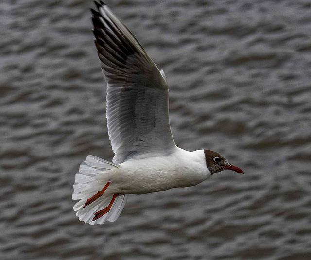 Gull flight shots34