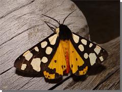 Arctia villica - mâle.