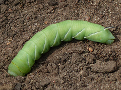 A surprise on the trail - a Tomato hornworm