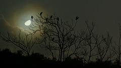 Aigrettes sous la lune.