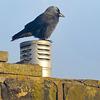 Jackdaw (Corvus monedula).