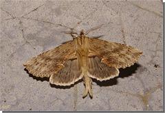 Pterostoma palpina à l'envol.