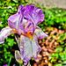 Verschiedenfarbige Schwertlilie (Iris versicolor)
