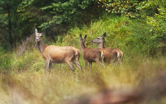 Biches aperçues dans le massif de Fontainebleau...