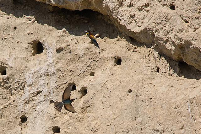 20170516 2896VRTw [A] Bienenfresser (Merops apiaster), Neusiedler See, [Oslib-Rust]