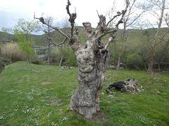 """"""" In jedem Baum wohnt ein Geist und sein Wohlergehen zu beeinträchtigen, belastet die Stätte mit Unglück """""""