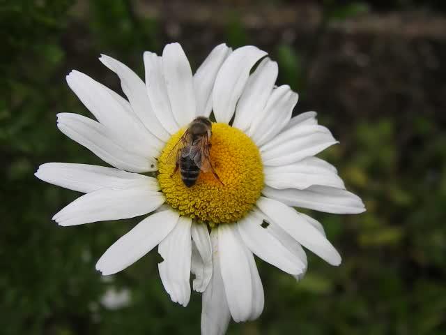 20200614 8511CP~V [D~LIP] Honigbiene, Bad Salzuflen