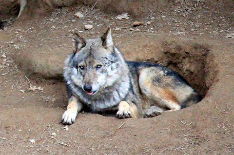 Loup gris (originaire de Yougoslavie) = Canis lupus (Canidé)