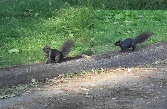 Es gibt sie wirklich, die schwarzen Schafe  ...ähhh, Eichhörnchen