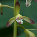 Aplectrum hyemale (Putty-root orchid)