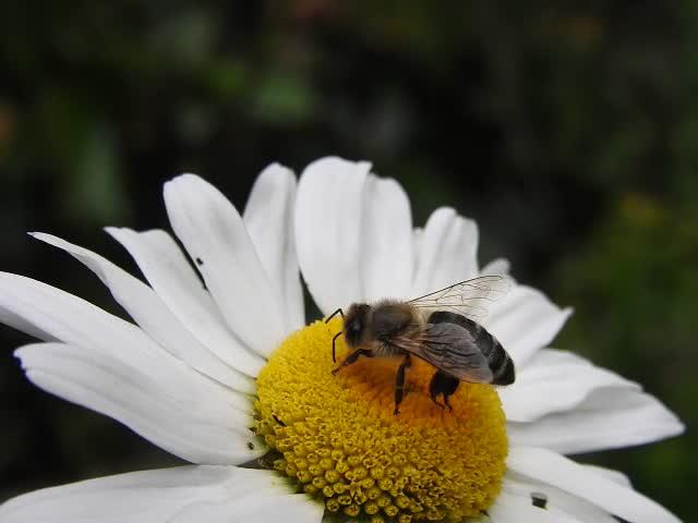 20200614 8515CP ~V [D~LIP] Honigbiene, Bad Salzuflen
