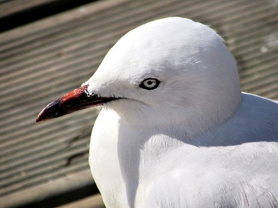 Gull.