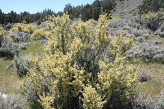 Blooming bitterbrush