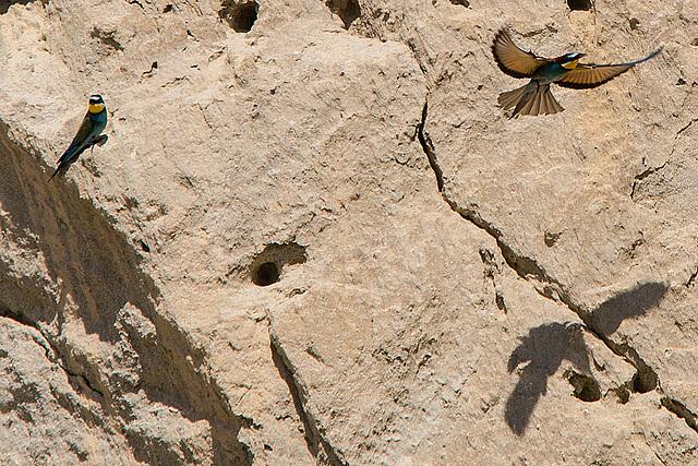 20170516 2913VRTw [A] Bienenfresser (Merops apiaster), Neusiedler See, [Oslib-Rust]