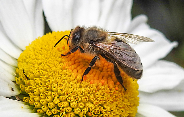 20200614 8516CPw [D~LIP] Honigbiene, Bad Salzuflen