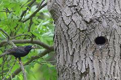 Etourneau sansonnet (Sturnus vulgaris)