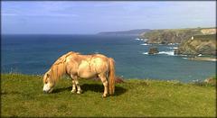 Pony on Treaga Hill, Portreath