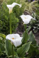 Flowers, Levengrove Park, Dumbarton