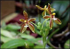 Phalaenopsis cornu-servi (2)