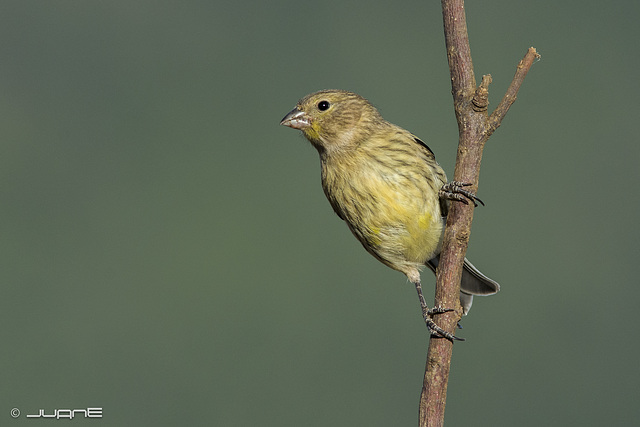 Canario silvestre, Serinus canaria