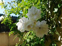 Les roses chez mon fils...