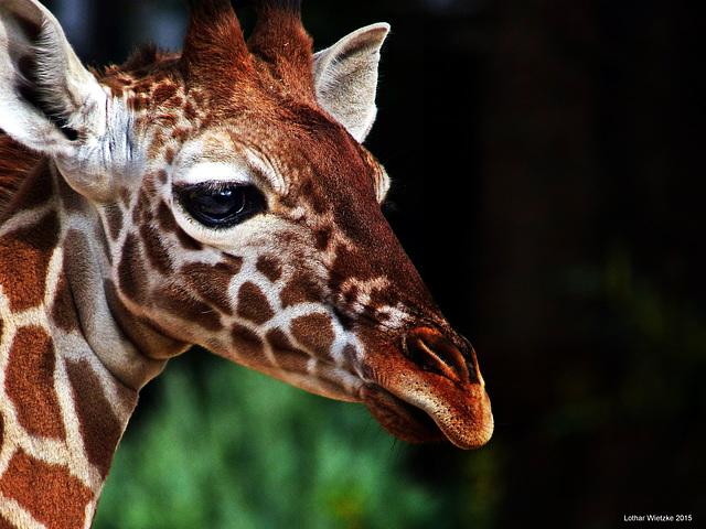 Giraffenbaby hält Ausschau...