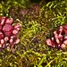 Purple Jellydisc Fungus