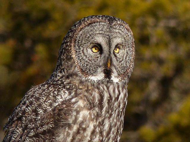 Great Gray Owl - breathtaking