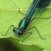 20170611 1798CPw [D~LIP] Gebänderte Prachtlibelle (Calopteryx splendens) [m], UWZ, Bad Salzuflen