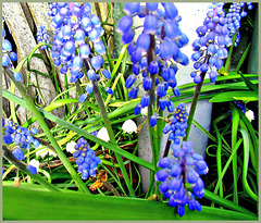 Grape Hyacinths and Snowflakes,