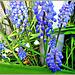 Grape Hyacinths and Snowflakes,