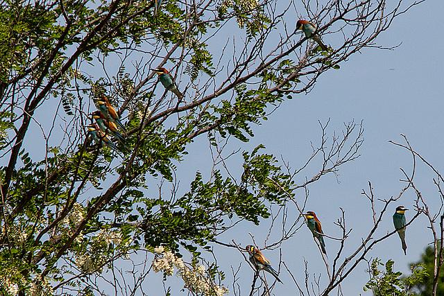 20170516 2948VRTw [A] Bienenfresser (Merops apiaster), Neusiedler See, [Oslib-Rust]