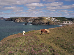 Shetland Ponies on Treaga Hill, Portreath