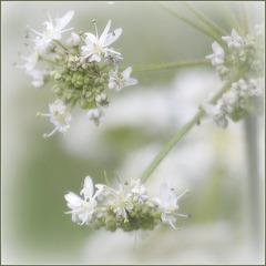 Inflorescense de berce