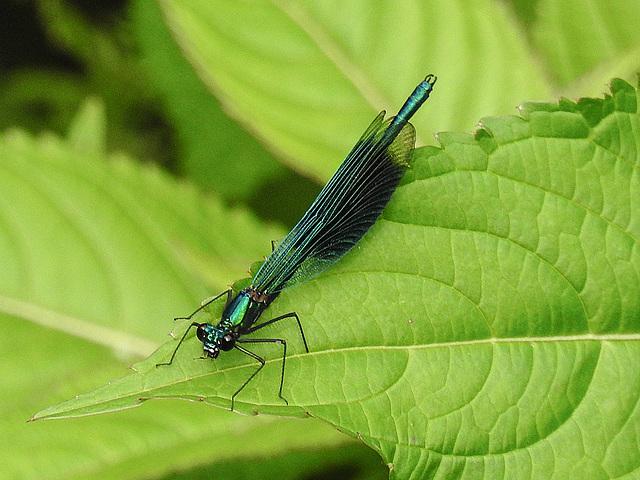 20170611 1808CPw [D~LIP] Gebänderte Prachtlibelle (Calopteryx splendens) [m], UWZ, Bad Salzuflen