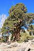 Giant juniper