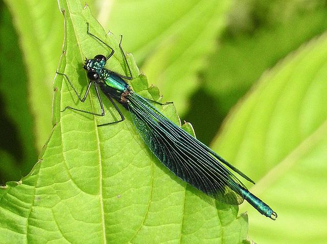 20170611 1811CPw [D~LIP] Gebänderte Prachtlibelle (Calopteryx splendens) [m], UWZ, Bad Salzuflen