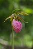 Cypripedium acaule (Pink Lady's-slipper orchid)