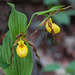 Cypripedium parviflorum variety parviflorum (Small Yellow Lady's-slipper orchid)